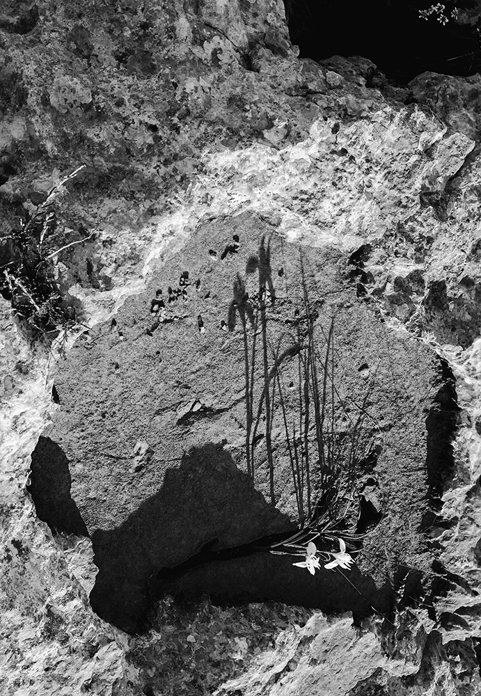 איריס הסרגל, צללית