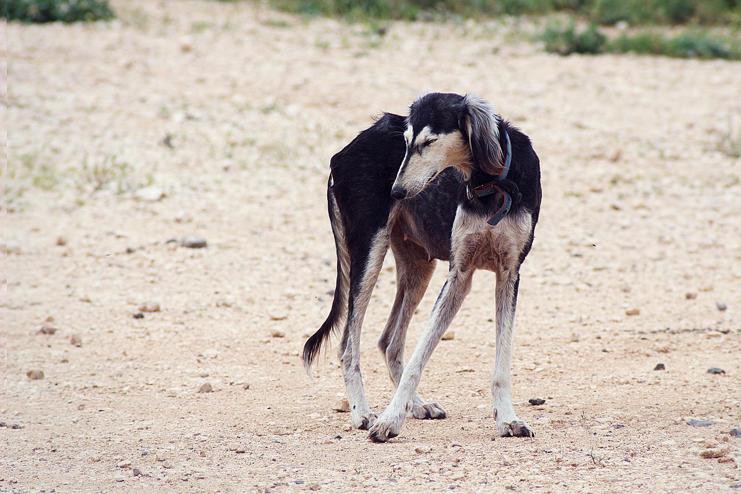כלבת רועים סלוקית, גבעת המורה