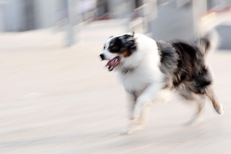 כלב רועים אוסטרלי, חשיפה ארוכה