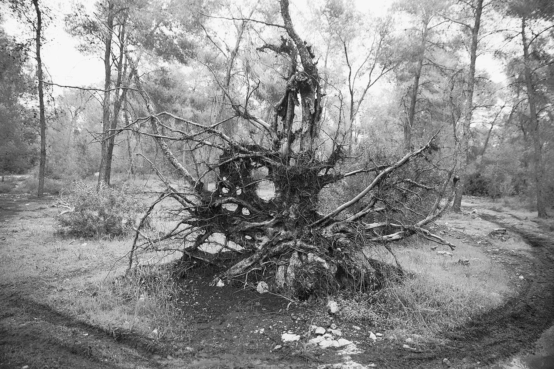 סיומה של תקופה. עץ אורן ביער בן שמן