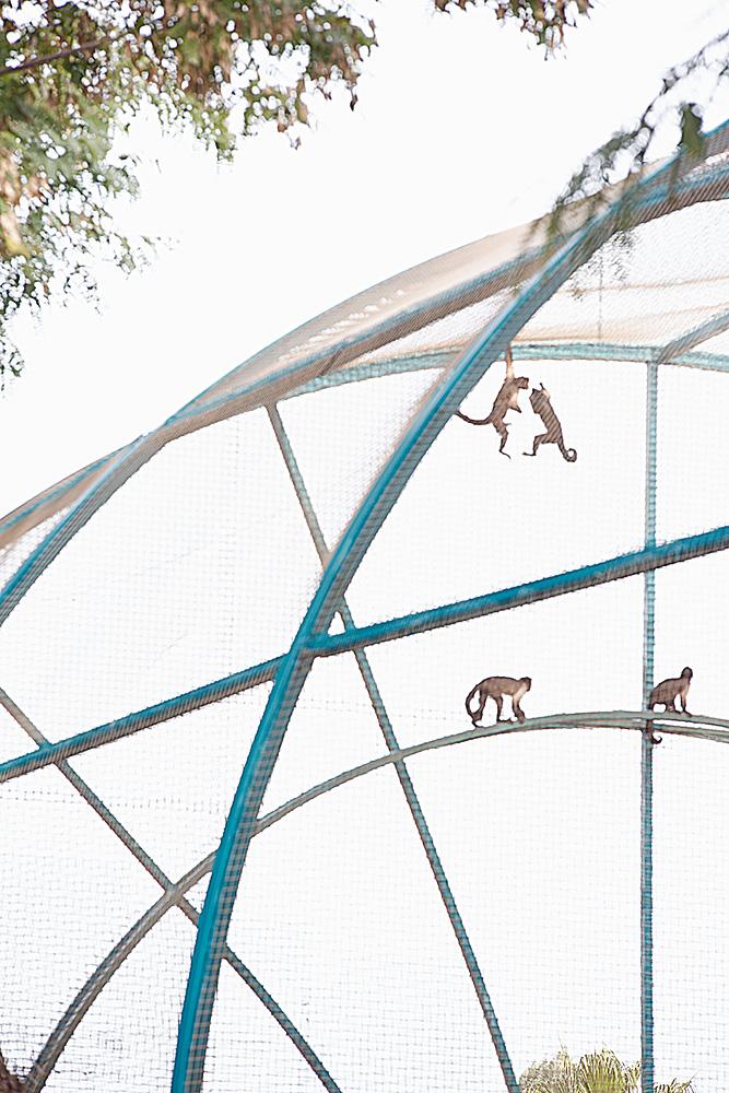 ציור סיני-דרום אמריקאי. קוף עכביש, גן החיות בפתח תקווה