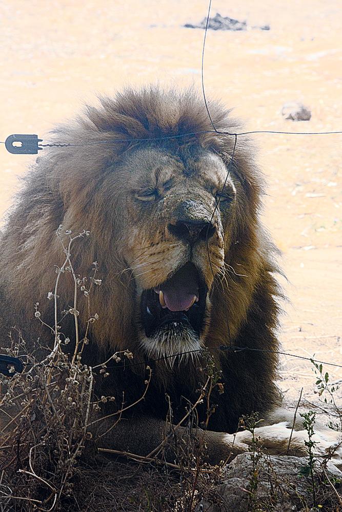 עייפות. אריה אפריקני, הספארי ברמת-גן