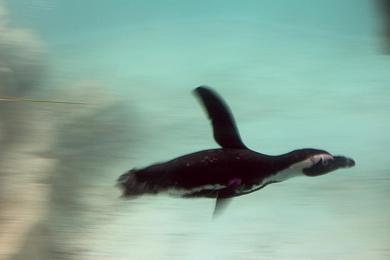 """עף במים. פינגווין שחור רגל, גן החיות התנ""""כי"""