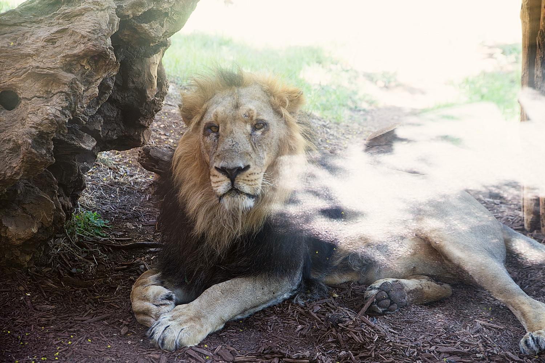 """עייפות. אריה אסיאתי, גן החיות התנ""""כי"""