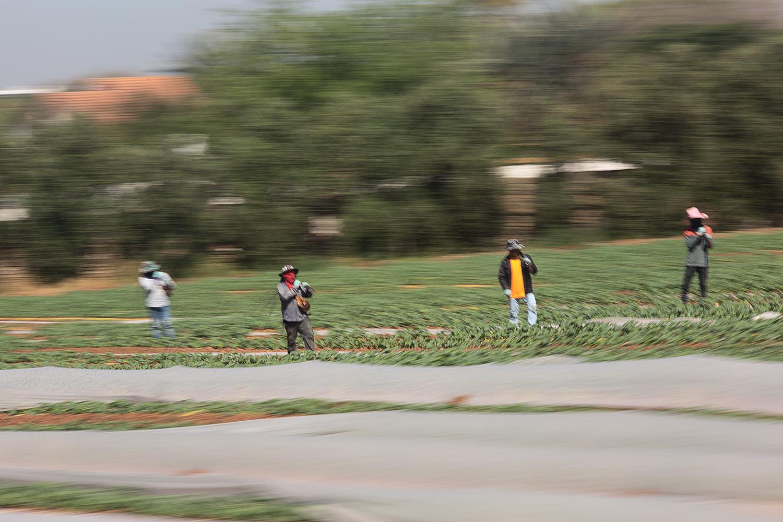 פועלים תאילנדים בשדה כותנה