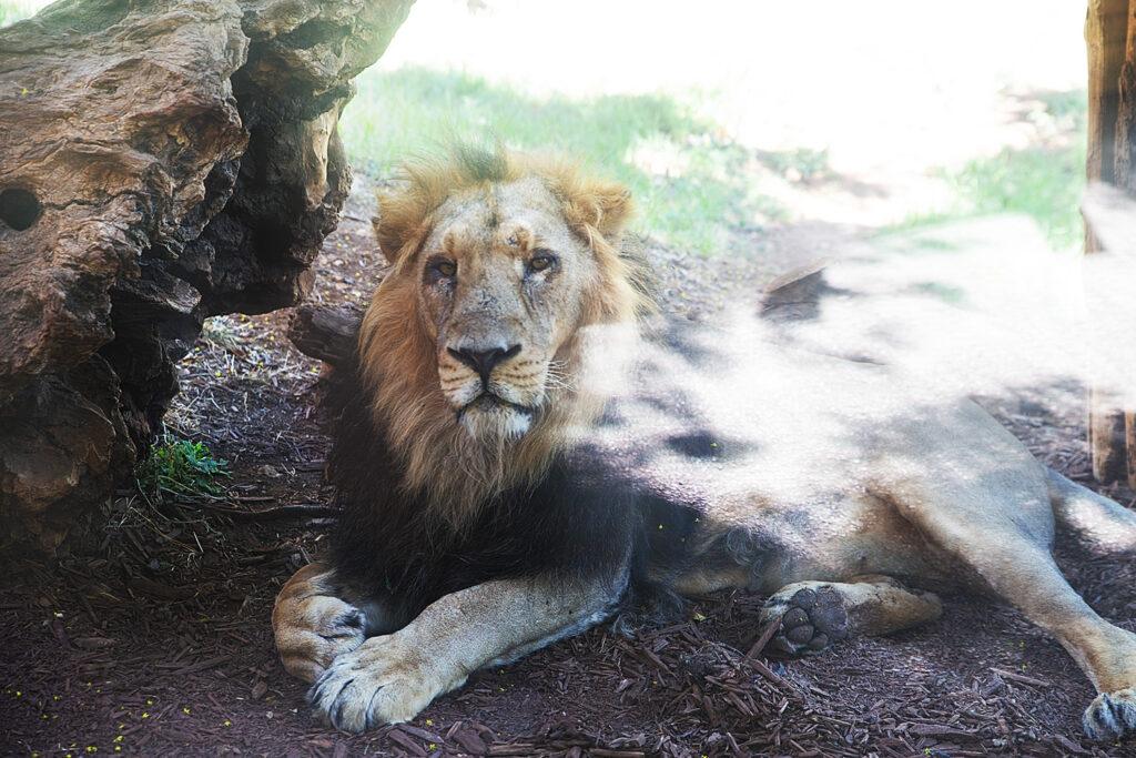 אריה אסיאתי - גן החיות התנכי